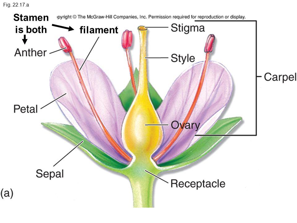 Stamen is both filament