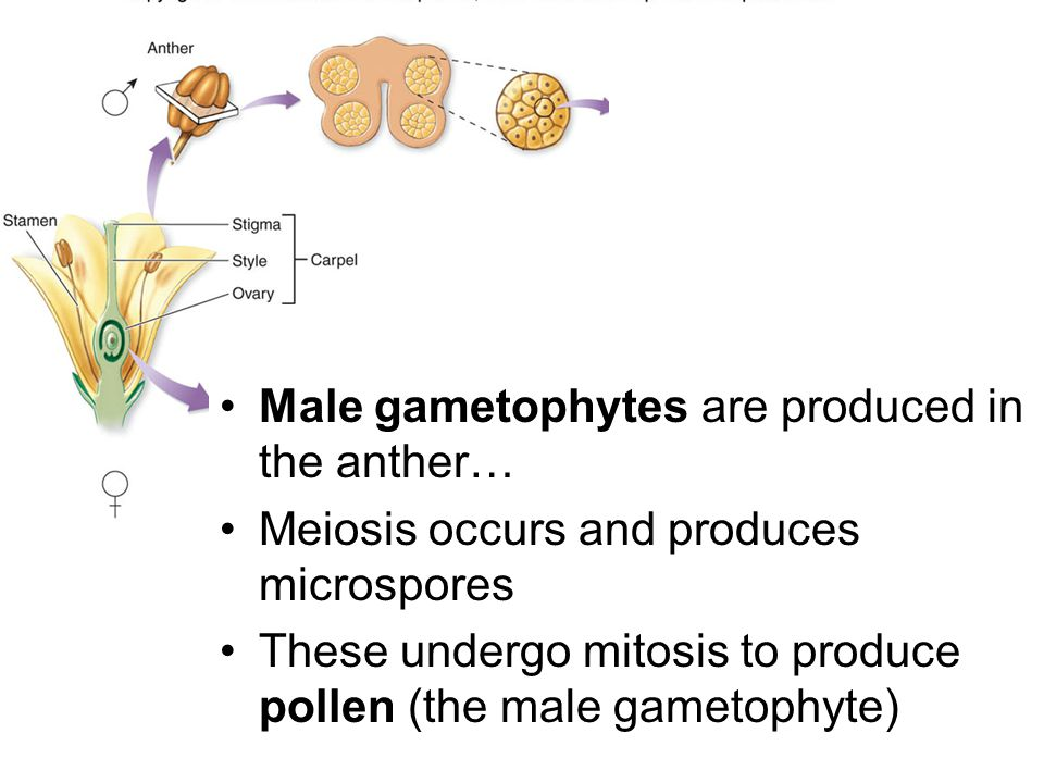 Male gametophytes are produced in the anther…