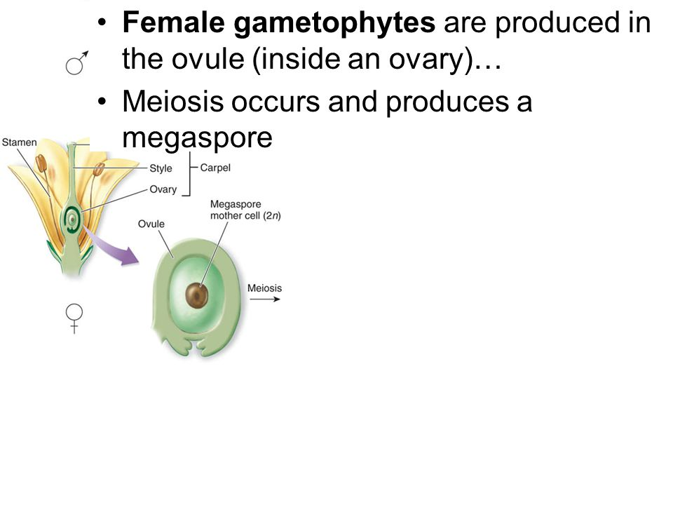 Female gametophytes are produced in the ovule (inside an ovary)…