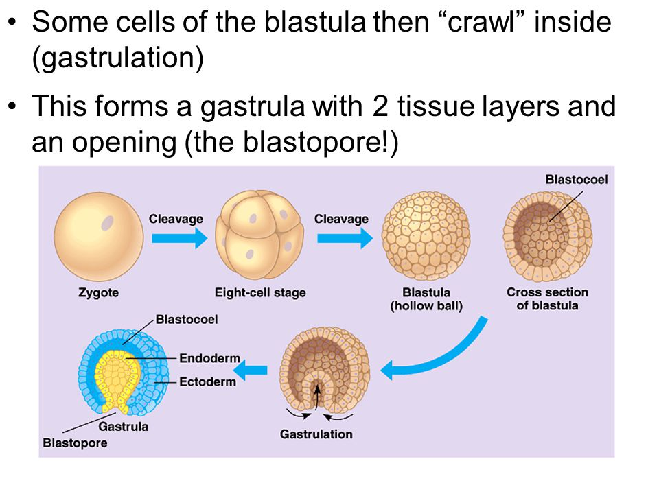 Some cells of the blastula then crawl inside (gastrulation)