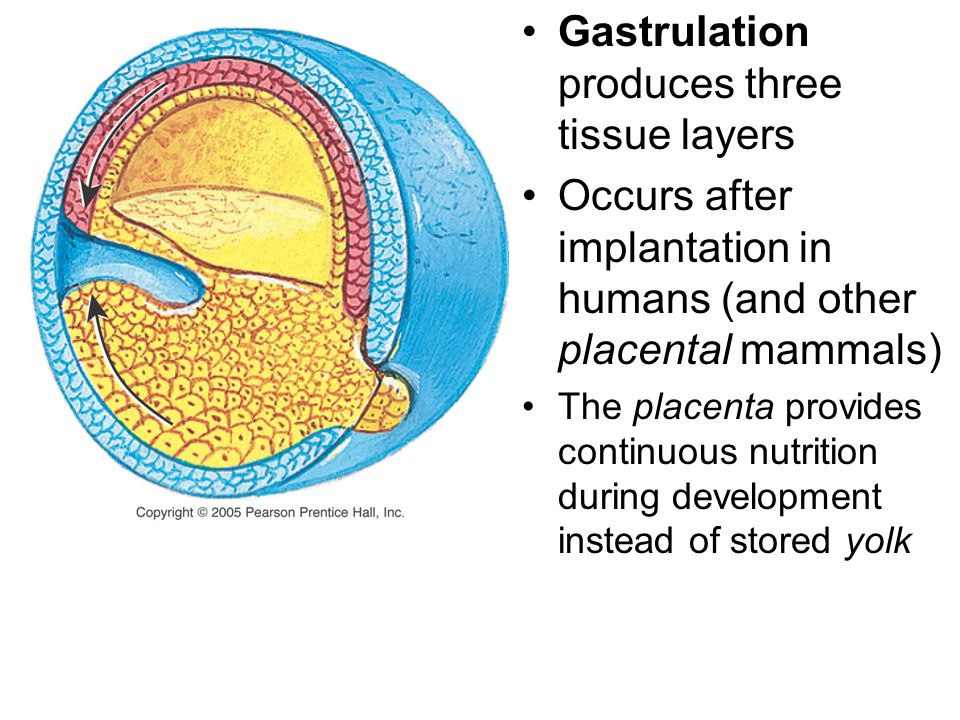 Gastrulation produces three tissue layers