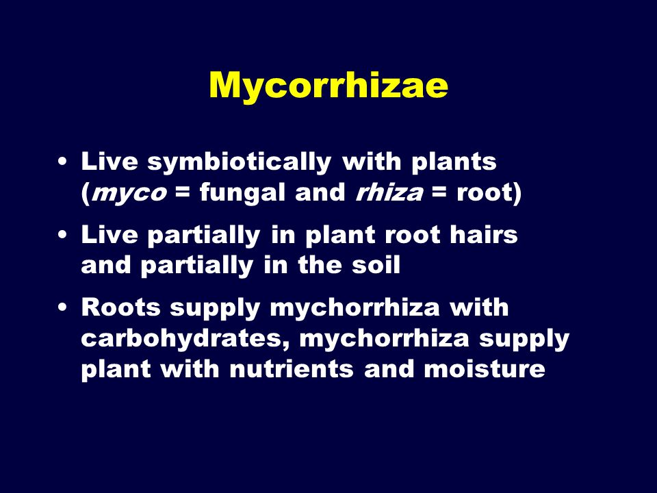 Mycorrhizae Live symbiotically with plants (myco = fungal and rhiza = root) Live partially in plant root hairs and partially in the soil.