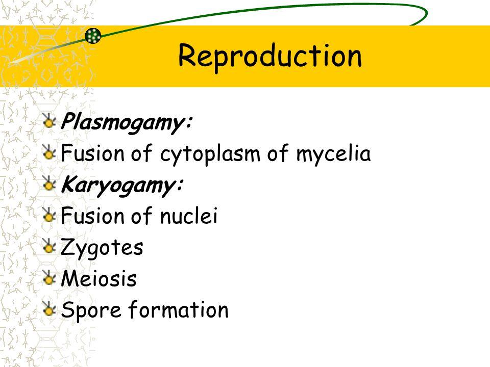 Reproduction Plasmogamy: Fusion of cytoplasm of mycelia Karyogamy: