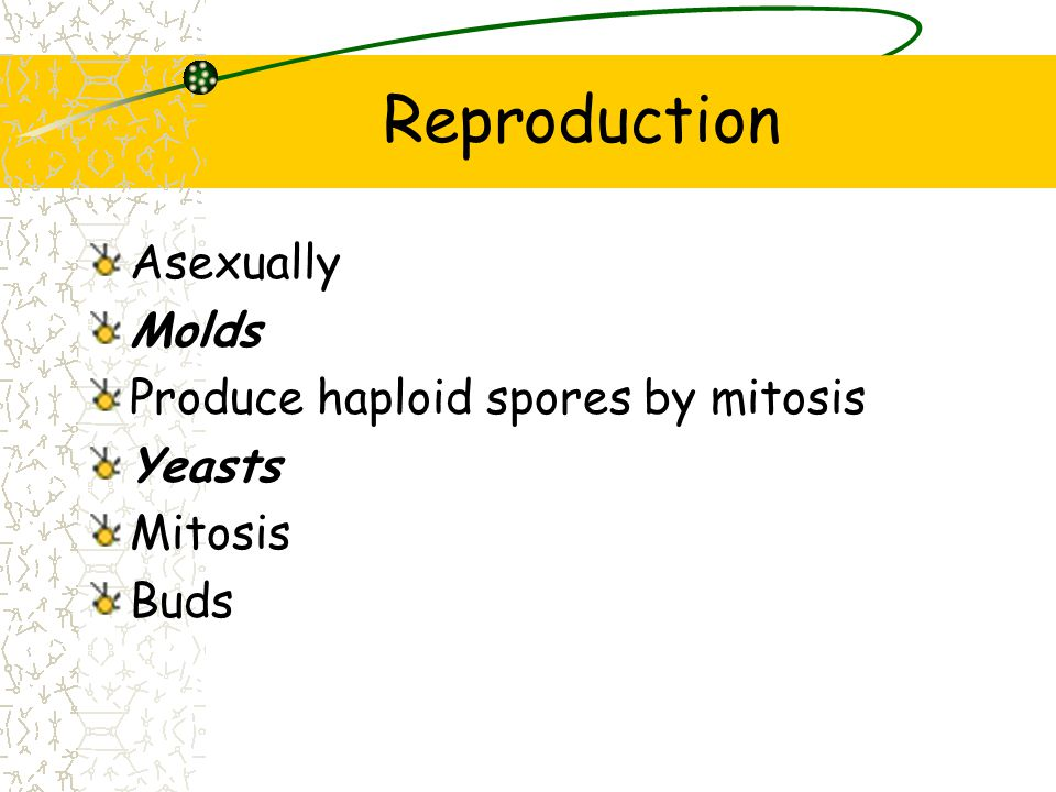 Reproduction Asexually Molds Produce haploid spores by mitosis Yeasts