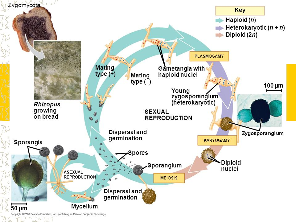 Zygomycota Key Haploid (n) Heterokaryotic (n + n) Diploid (2n) Mating