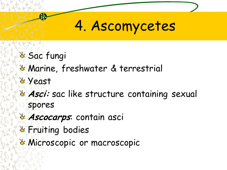 4. Ascomycetes Sac fungi Marine, freshwater & terrestrial Yeast