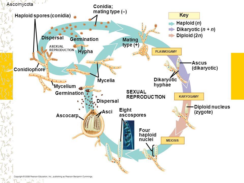 Key Ascomycota Conidia; mating type (–) Haploid spores (conidia)