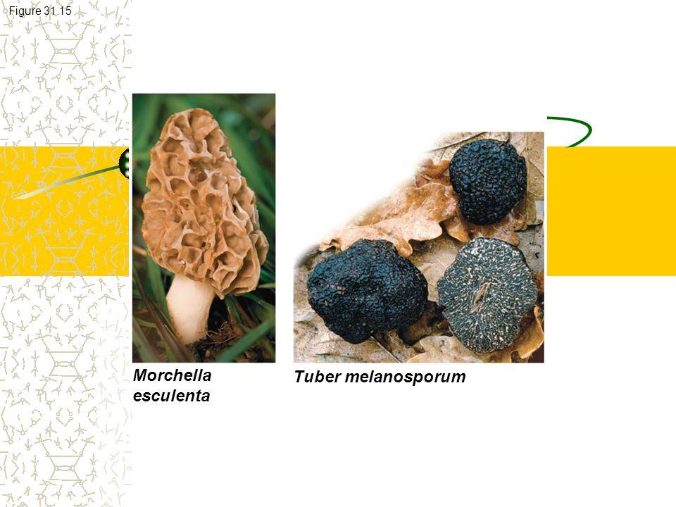 Morchella esculenta Tuber melanosporum Figure 31.15