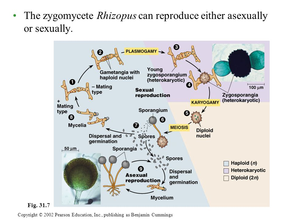 The zygomycete Rhizopus can reproduce either asexually or sexually.