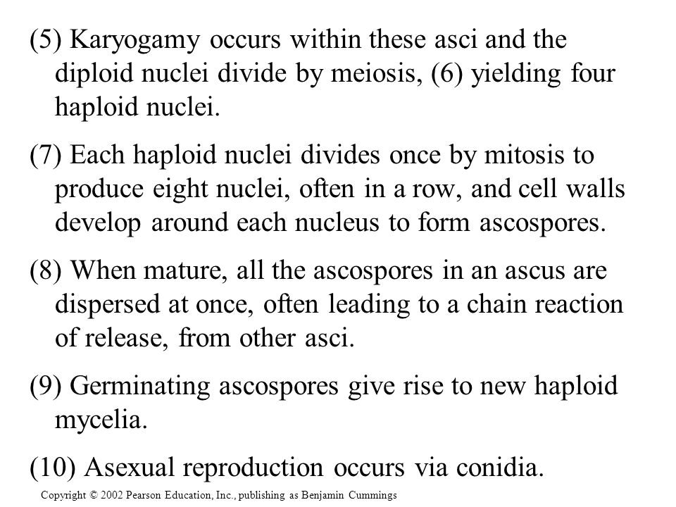 (9) Germinating ascospores give rise to new haploid mycelia.