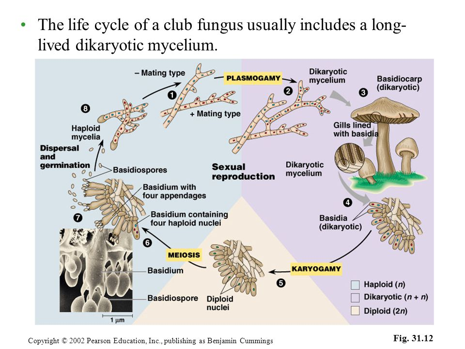 The life cycle of a club fungus usually includes a long- lived dikaryotic mycelium.