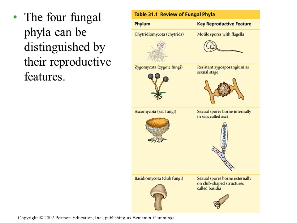 The four fungal phyla can be distinguished by their reproductive features.