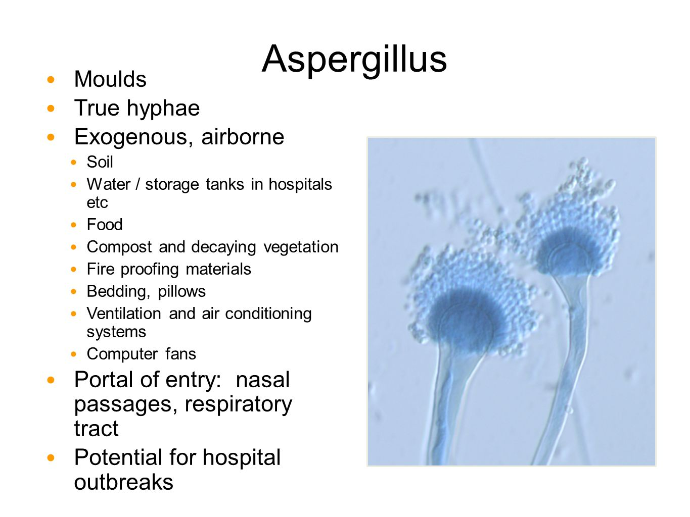 Aspergillus Moulds True hyphae Exogenous, airborne