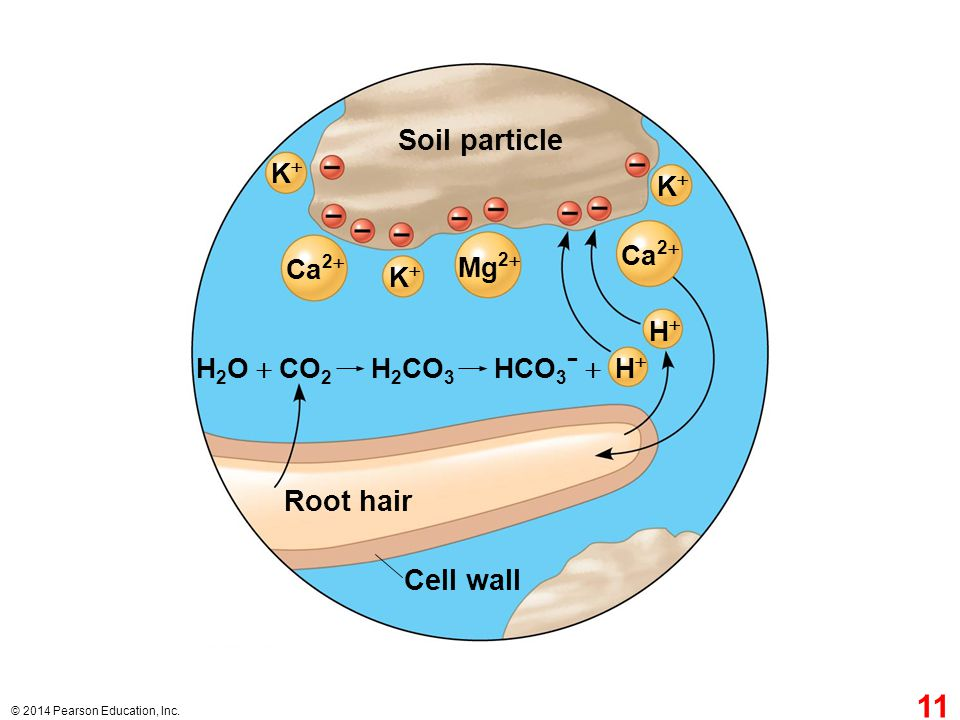 Soil particle Root hair Cell wall K+ K+ Ca2+ Ca2+ Mg2+ K+ H+ H2O + CO2