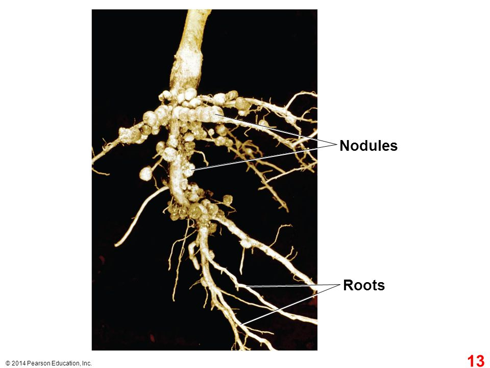 Nodules Figure 29.12 Soybean root nodules Roots 13