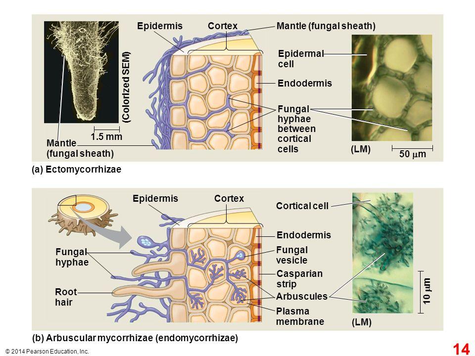Mantle (fungal sheath)