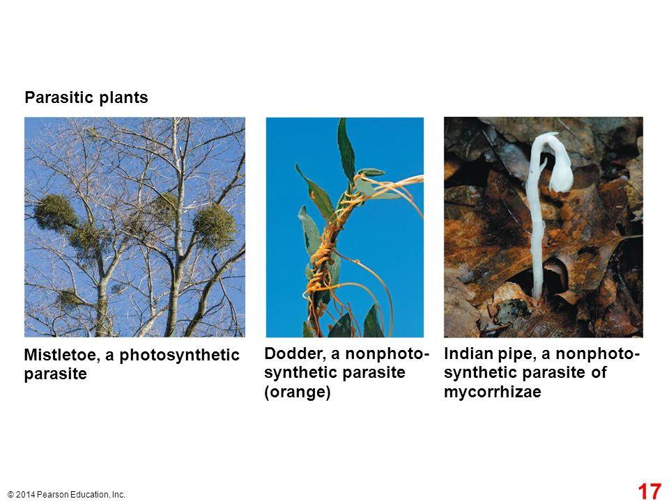 Mistletoe, a photosynthetic parasite Dodder, a nonphoto-