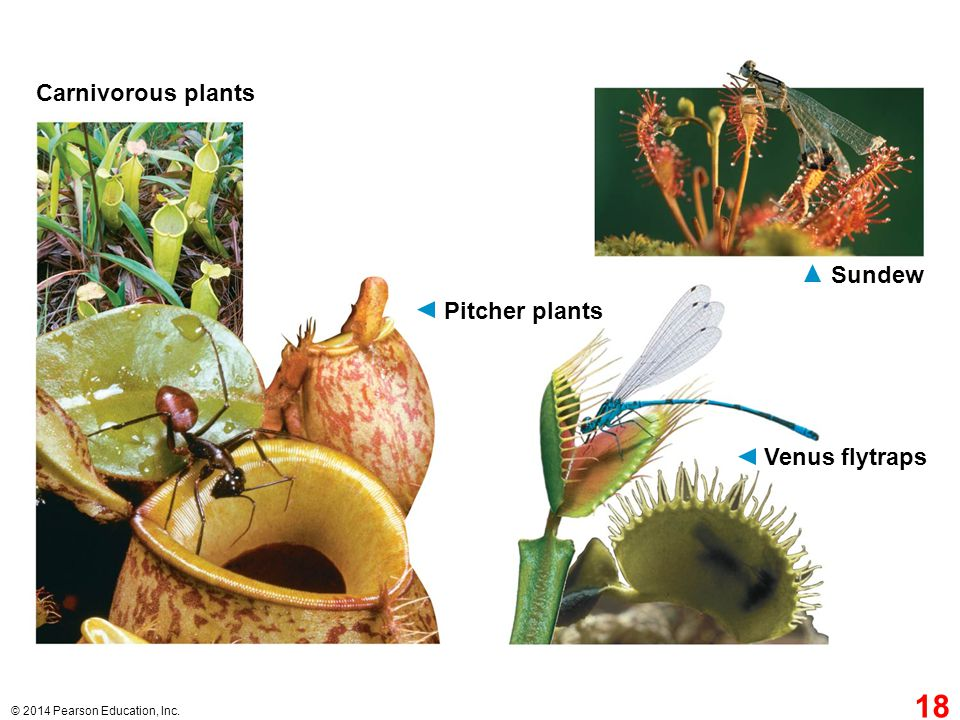 Carnivorous plants Sundew Pitcher plants Venus flytraps