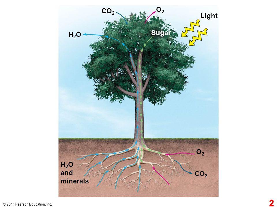 O2 CO2 Light Sugar H2O O2 H2O and minerals CO2