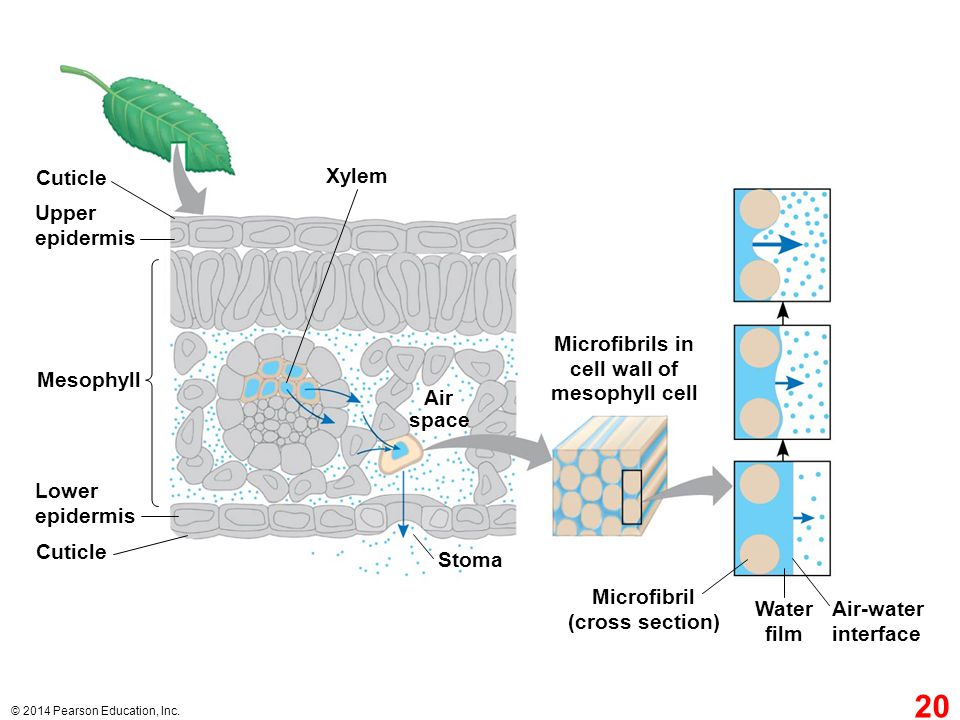 Cuticle Xylem Upper epidermis Microfibrils in cell wall of