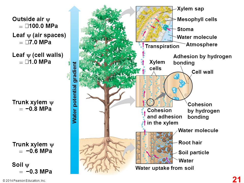 Outside air  = −100.0 MPa Leaf  (air spaces) = −7.0 MPa