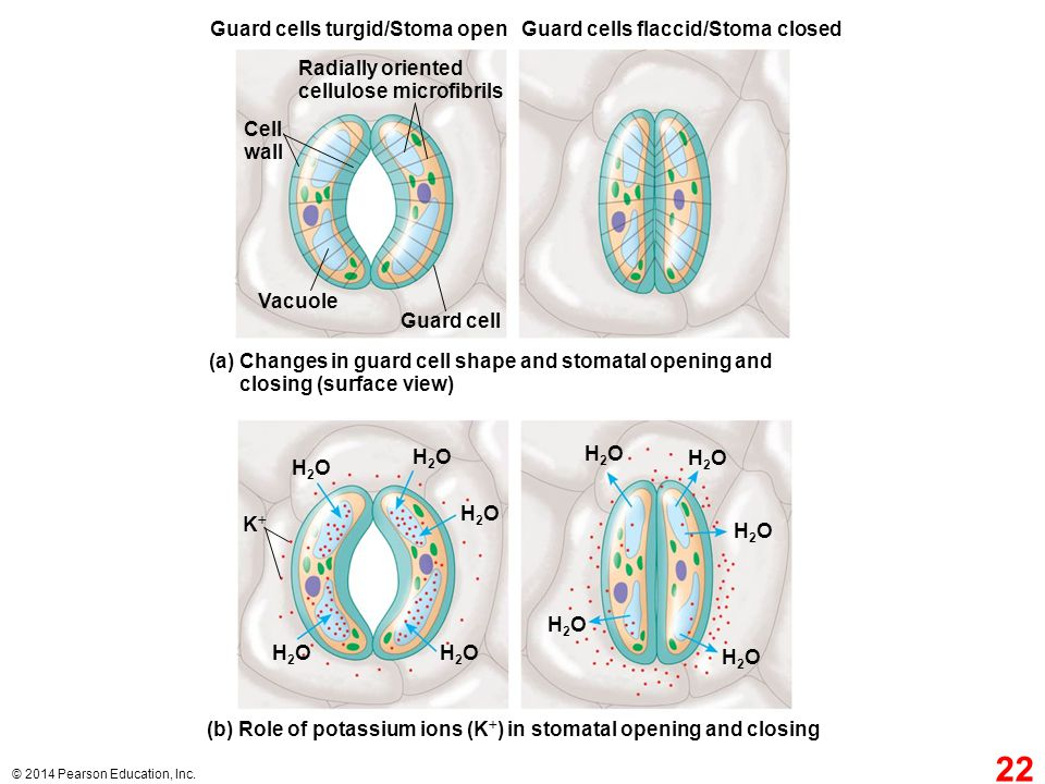 Guard cells turgid/Stoma open Guard cells flaccid/Stoma closed