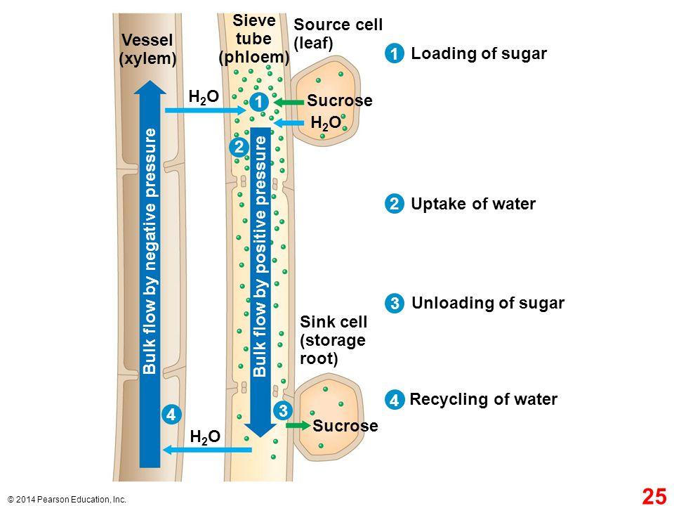 Sieve tube (phloem) Vessel (xylem)