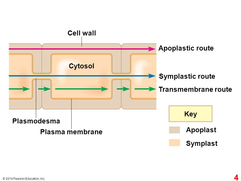 Cell wall Apoplastic route Cytosol Symplastic route