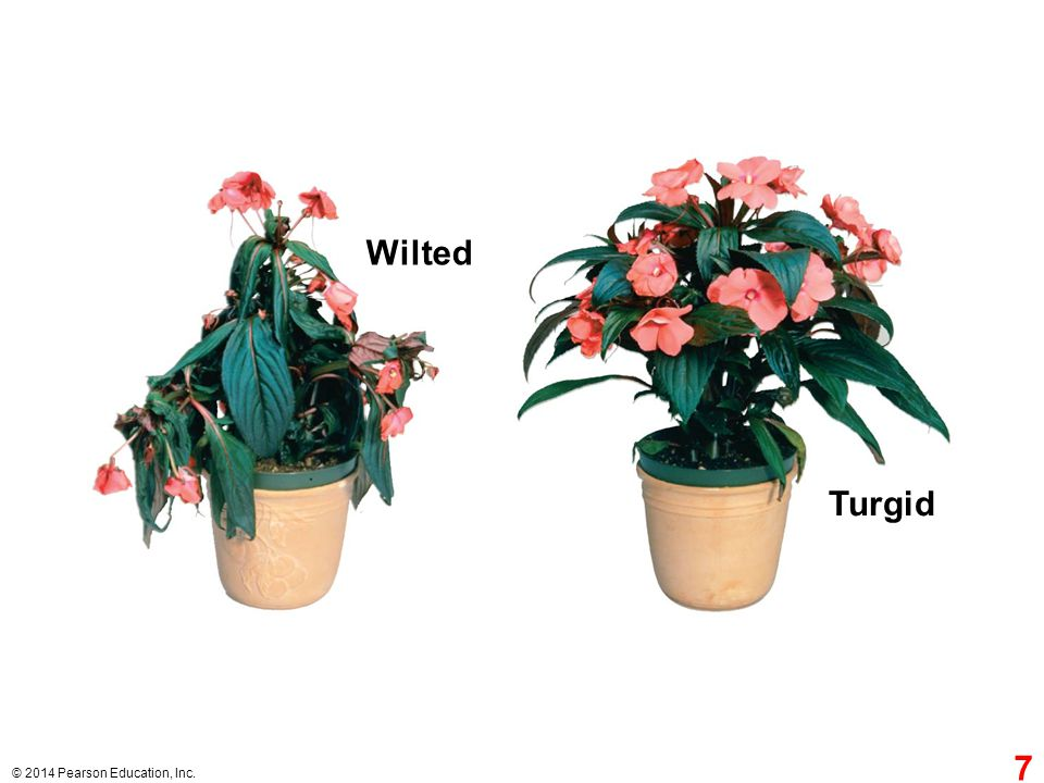 Wilted Turgid Figure 29.7 A moderately wilted plant can regain its turgor when watered. 7
