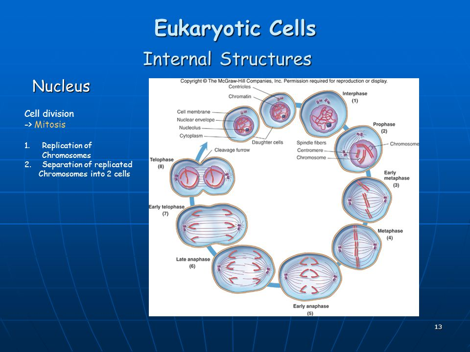 Eukaryotic Cells Internal Structures Nucleus Cell division