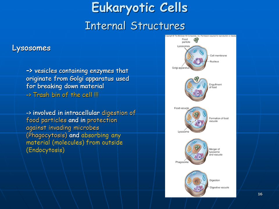 Eukaryotic Cells Internal Structures Lysosomes