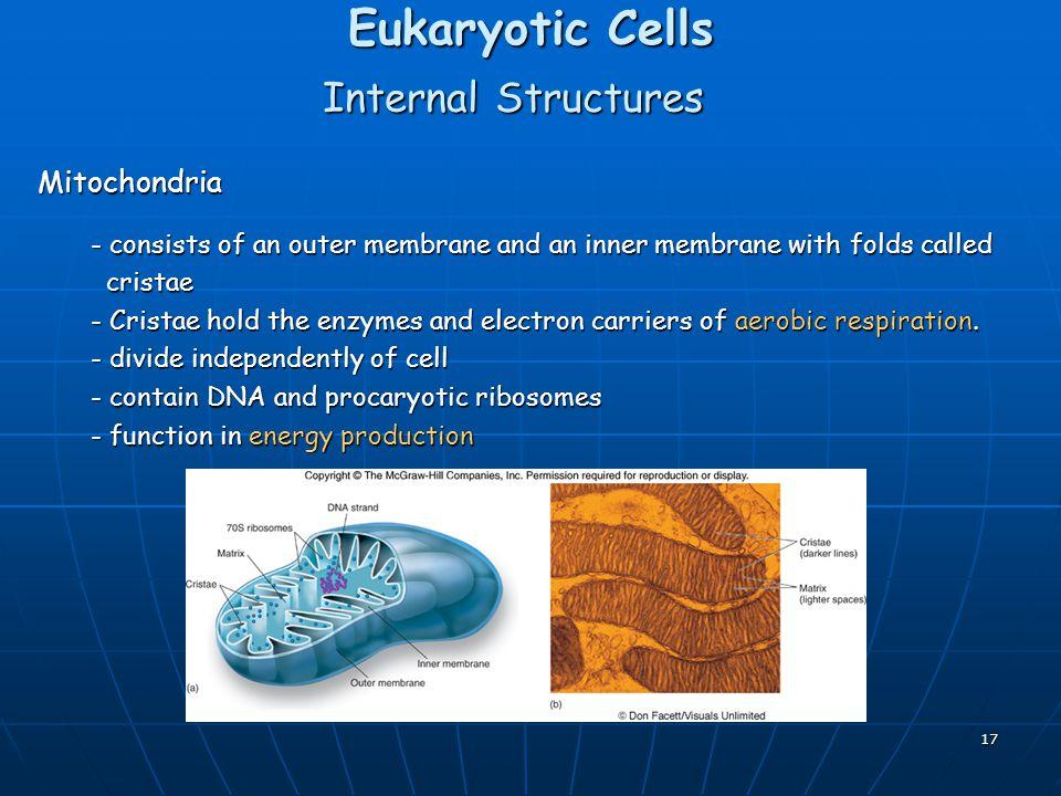 Eukaryotic Cells Internal Structures Mitochondria