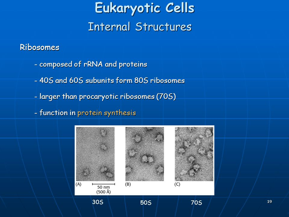 Eukaryotic Cells Internal Structures Ribosomes
