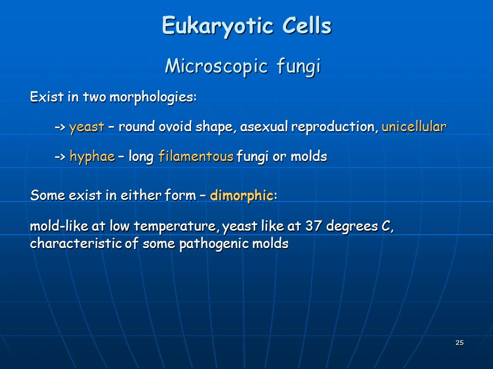 Eukaryotic Cells Microscopic fungi Exist in two morphologies: