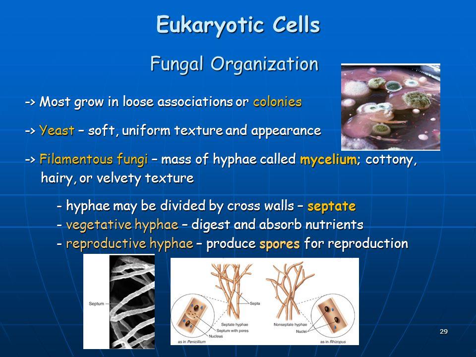 Eukaryotic Cells Fungal Organization