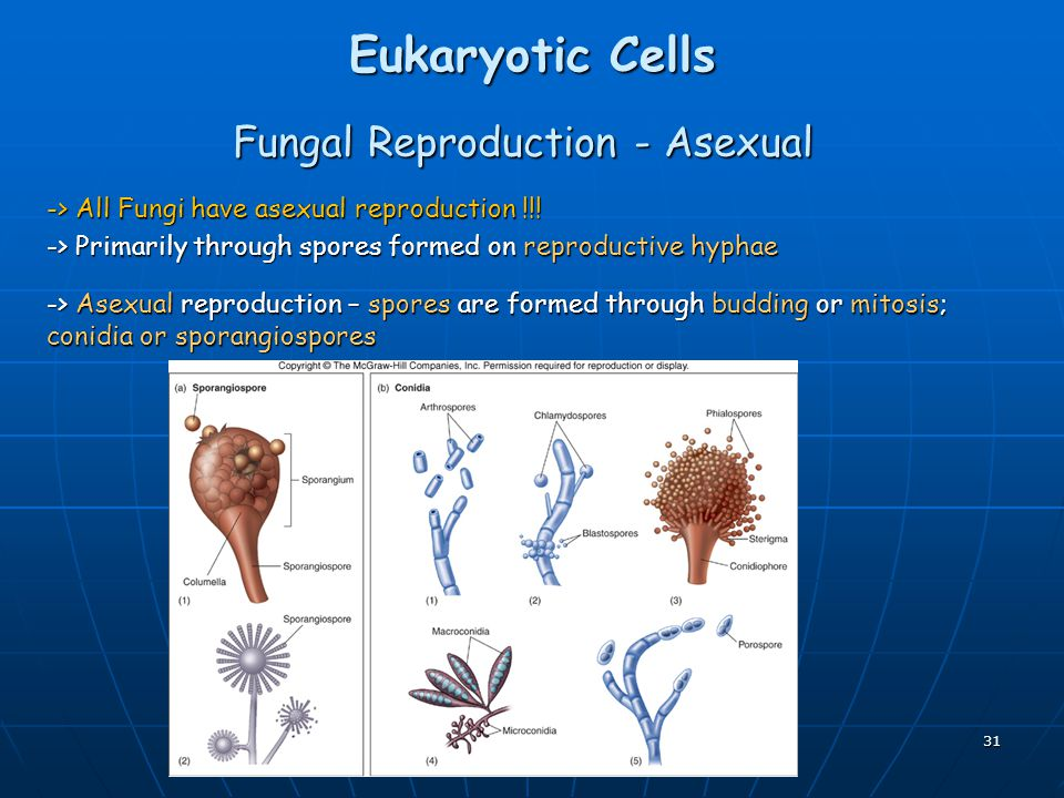 Fungal Reproduction - Asexual