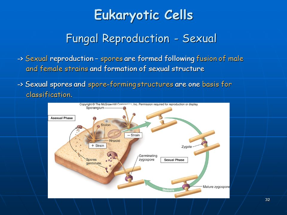 Fungal Reproduction - Sexual