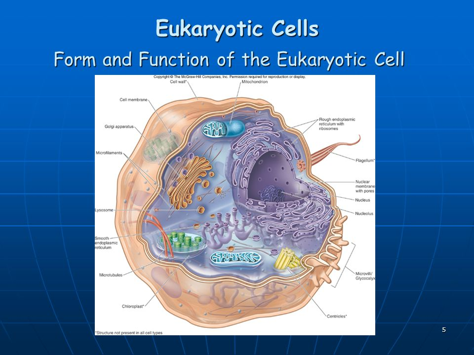 Form and Function of the Eukaryotic Cell