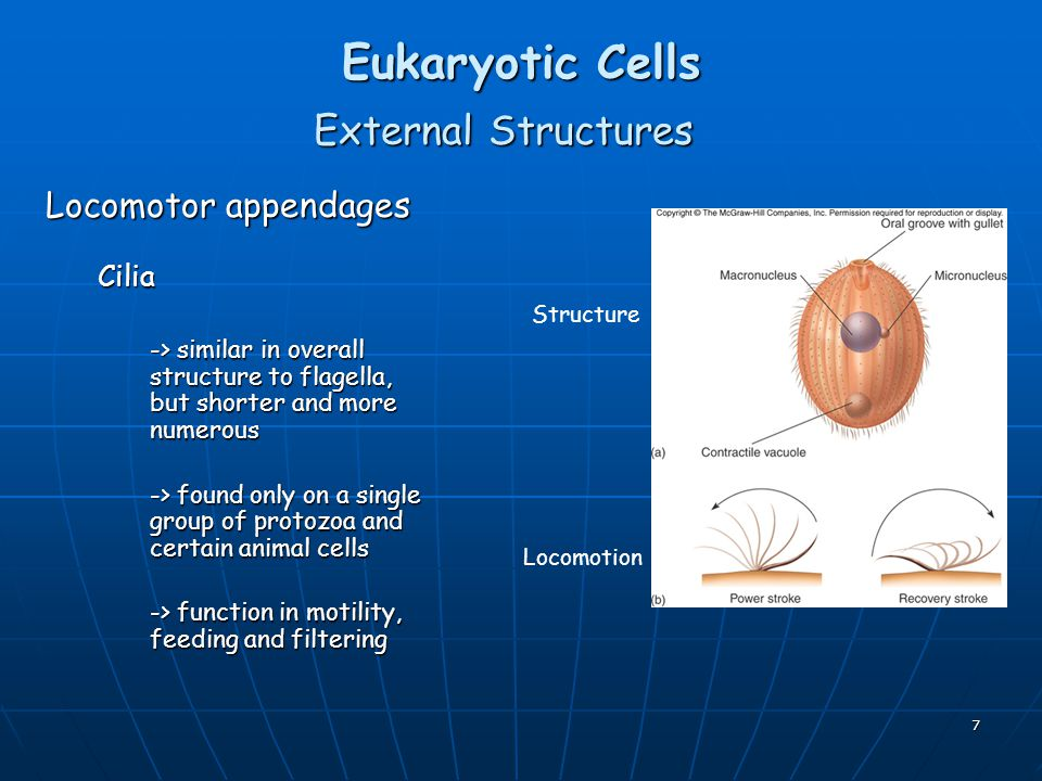 Eukaryotic Cells External Structures Locomotor appendages Cilia
