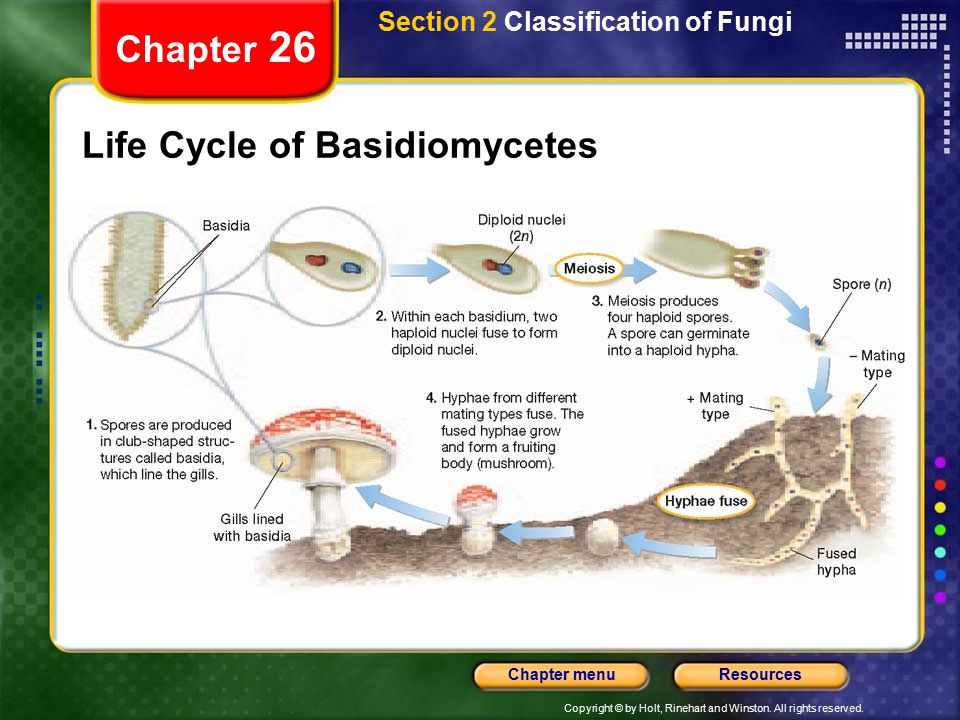 Life Cycle of Basidiomycetes