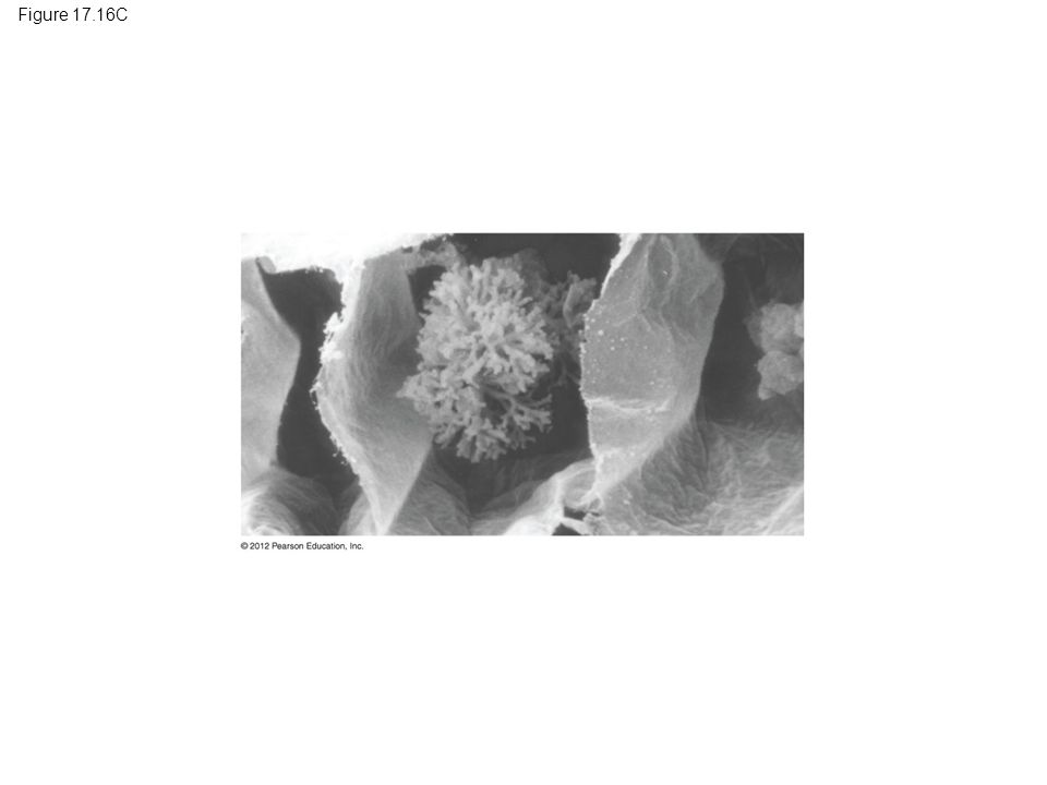 Figure 17.16C Figure 17.16C Glomeromycete: an arbuscule in a root cell 13