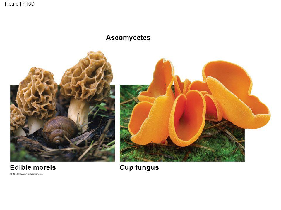 Ascomycetes Edible morels Cup fungus Figure 17.16D