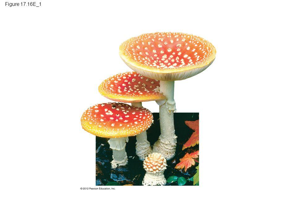 Figure 17.16E_1 Figure 17.16E_1 Basidiomycetes (club fungi): mushrooms (part 1) 15