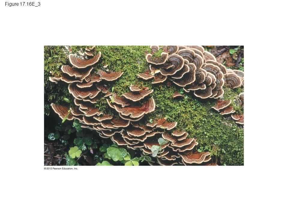 Figure 17.16E_3 Figure 17.16E_3 Basidiomycetes (club fungi): shelf fungi (part 3) 16