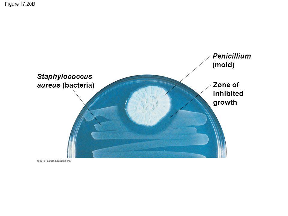 Penicillium (mold) Staphylococcus aureus (bacteria) Zone of inhibited
