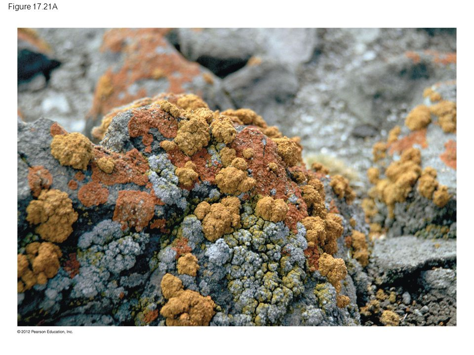 Figure 17.21A Figure 17.21A Several of the 200 to 300 species of lichen that live in Antarctica 30