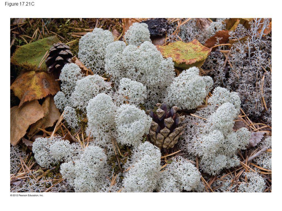 Figure 17.21C Figure 17.21C Reindeer moss, a lichen 32