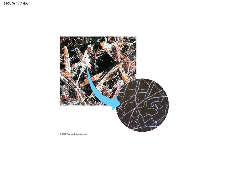 Figure 17.14A Figure 17.14A Mycelium on fallen conifer needles 5