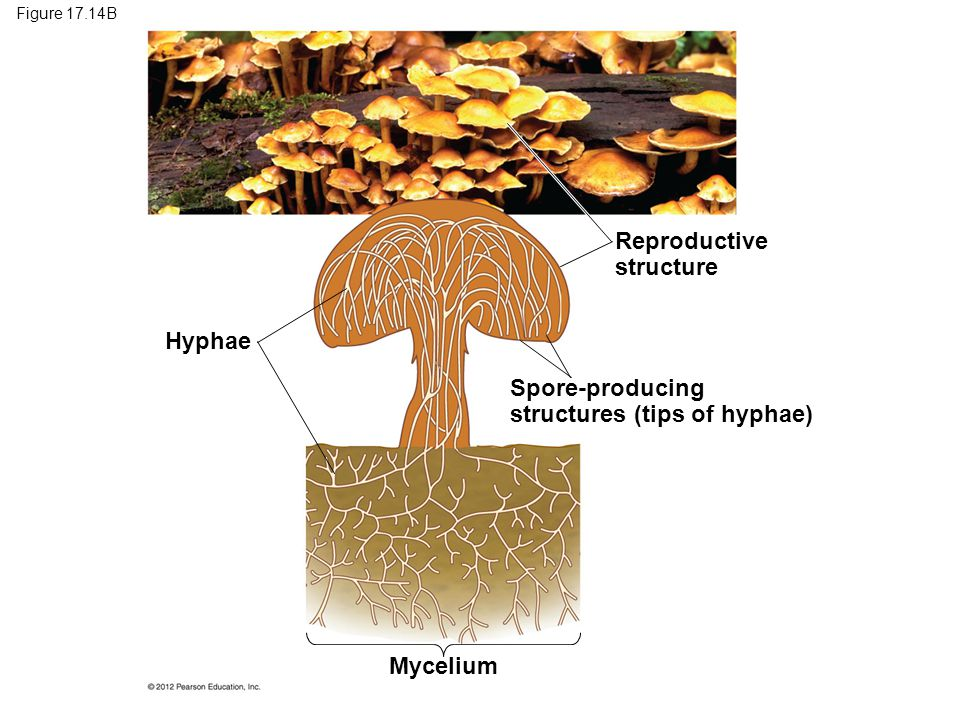 structures (tips of hyphae)