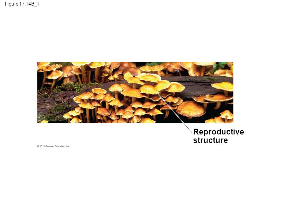 Reproductive structure Figure 17.14B_1